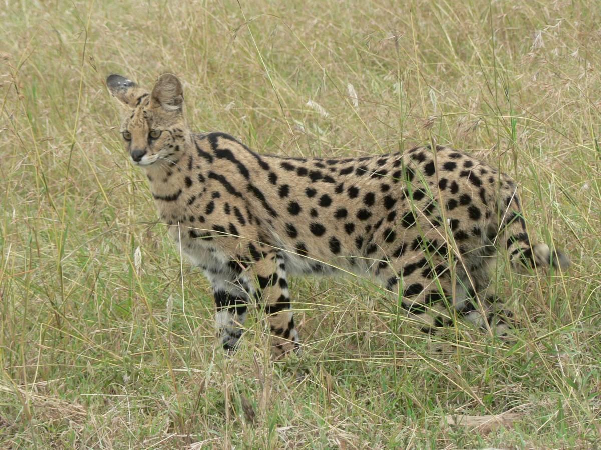 Serval cat on the savannah.