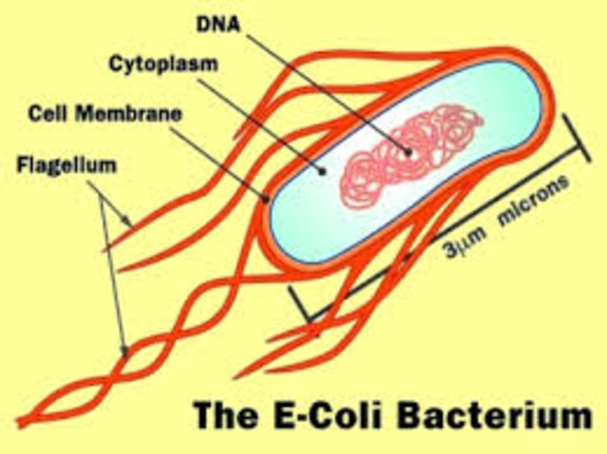 The E Coli strain 0157:H7 can be a really nasty strain of Bacteria.