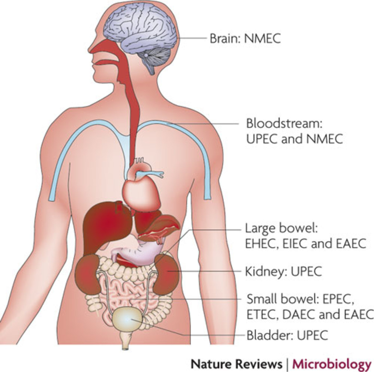 Areas in the body where different strains of E Coli can start an infection.