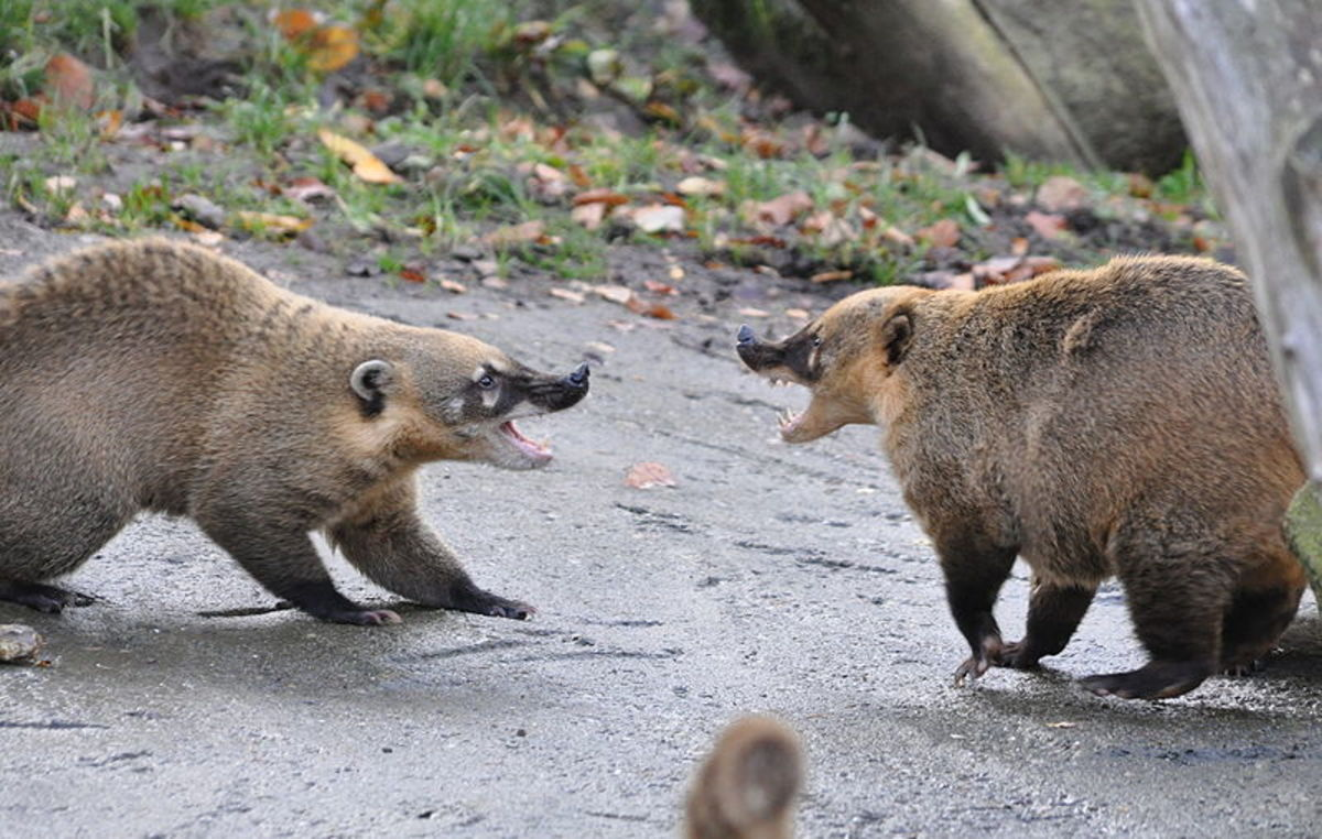 Image result for FIGHTING COATIS
