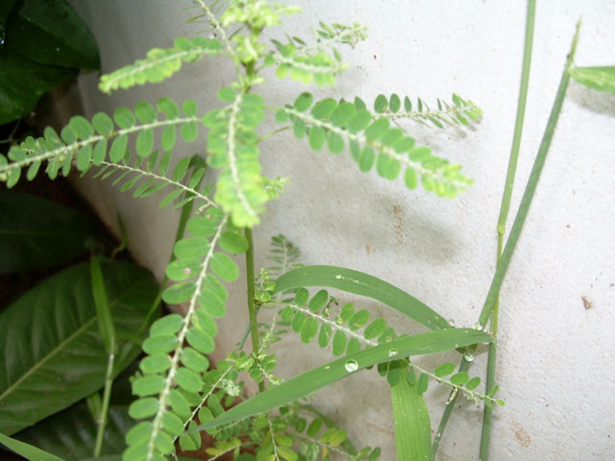 Medicinal uses of Kizhar Nelli - Phyllanthus niruri