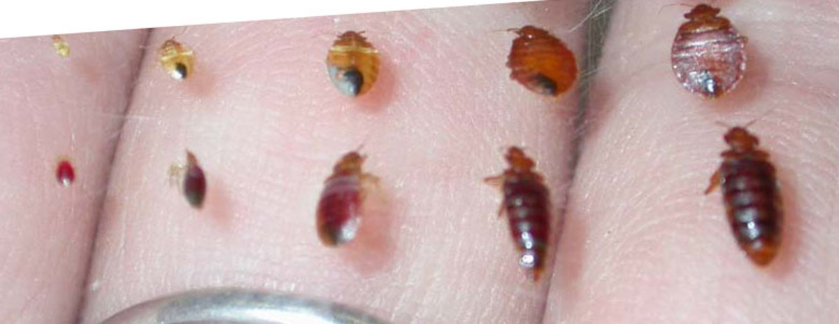 Note the tiniest of these.  Before feeding, they are creme colored and no bigger than the head of a pin.  The Bedbug Handbook, the source for this picture, has lots of actual useful information on bed bugs, unlike my own story here.