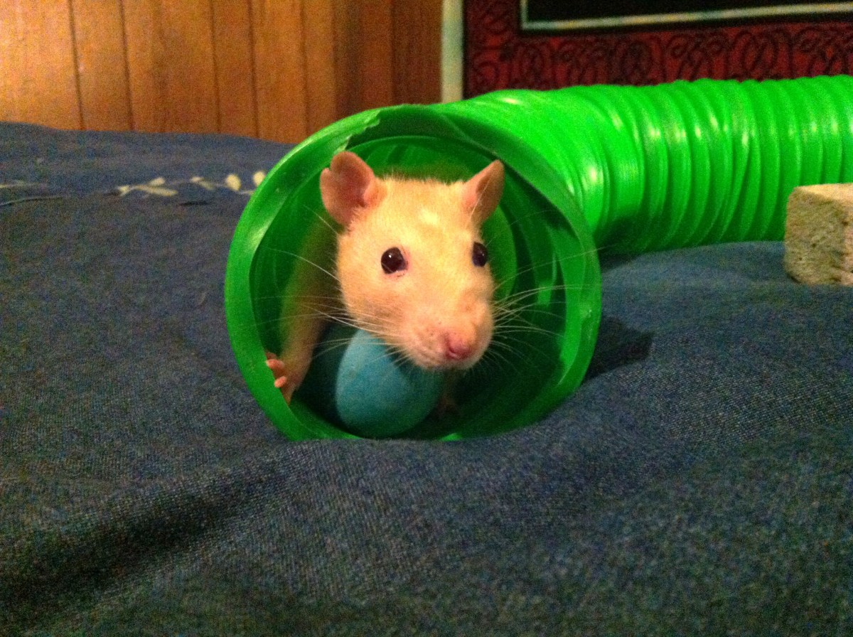 Patches loves playing in the tube while her cage is cleaned!