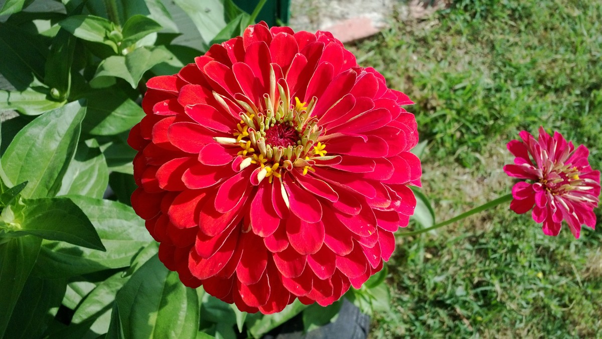 This was supposed to be a dwarf zinnia. The bloom is five inches in diameter!