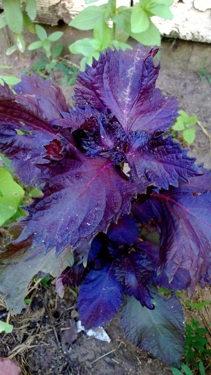 Some coleus for foliage color