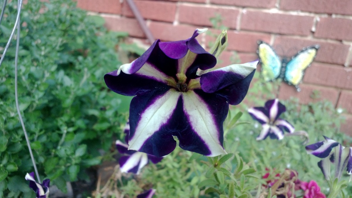 Showy variegated petunias