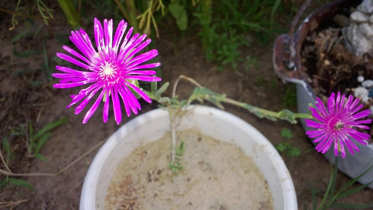 Delosperma (ice plant)