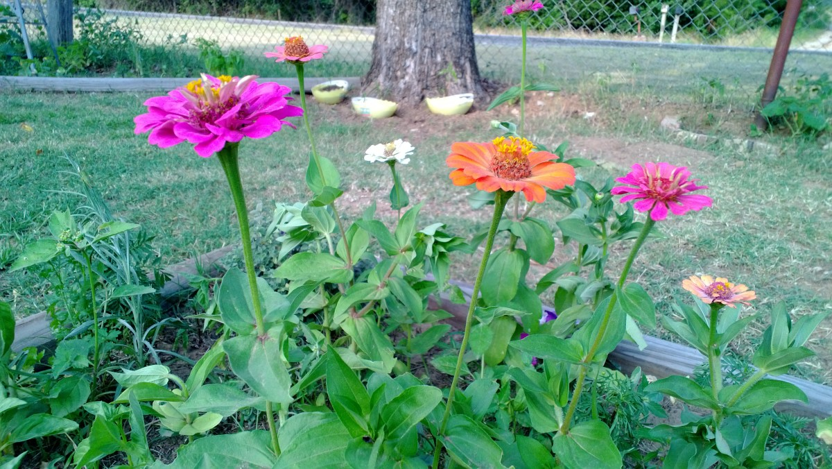 A few more zinnias