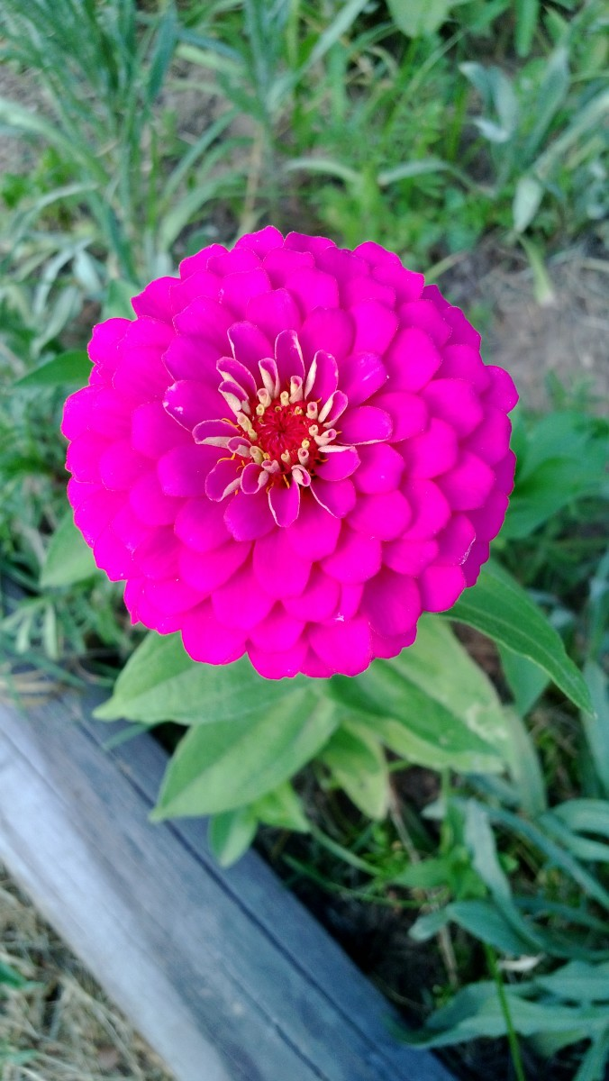 A perfect little zinnia