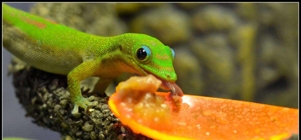 Gold dust day geckos are widely available as pets.