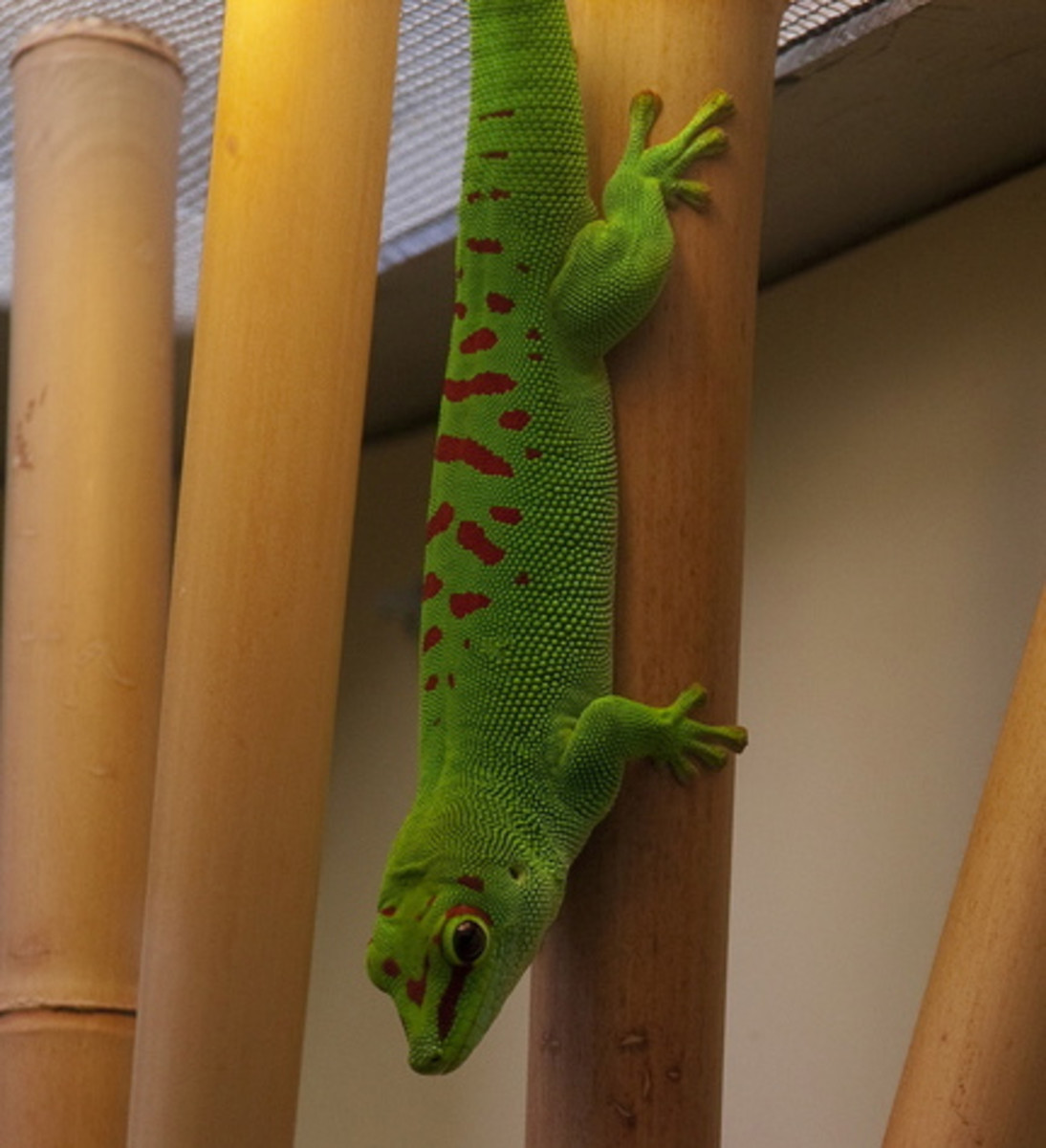 The grandis subspecies of the giant Madagascar day gecko is the most colourful, and the most popular.
