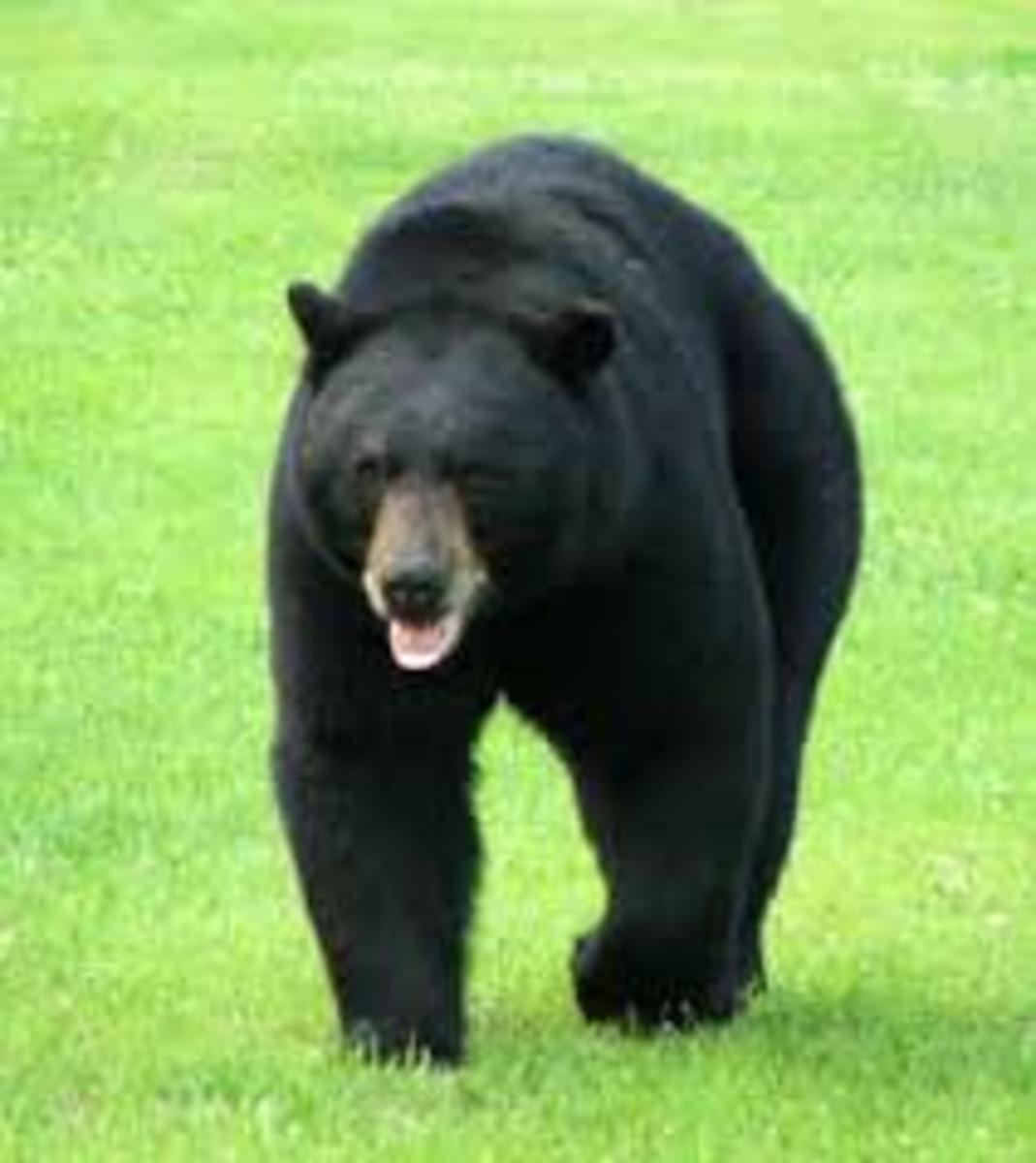 Bears In Dreams-Bear Dream Meanings-Dream Intepretation