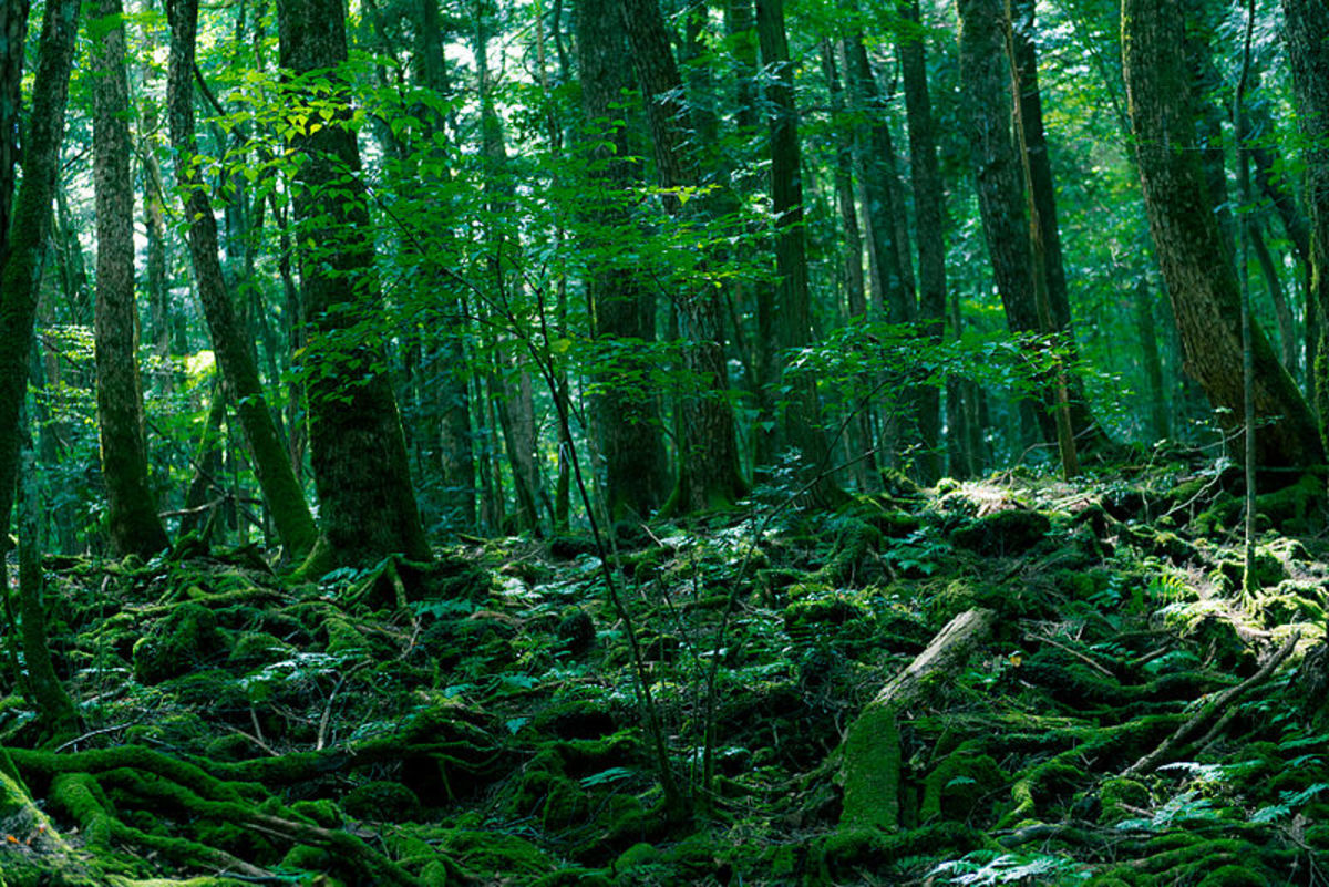 Aokigahara, the infamous Suicide forest
