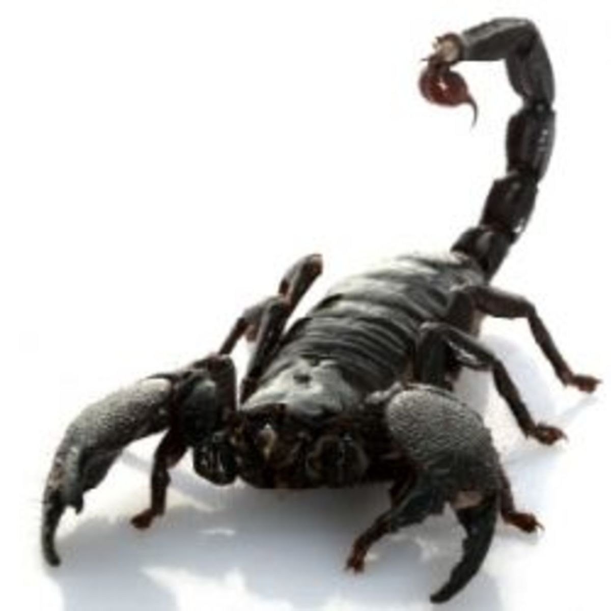 3 Natural Predators Scorpions