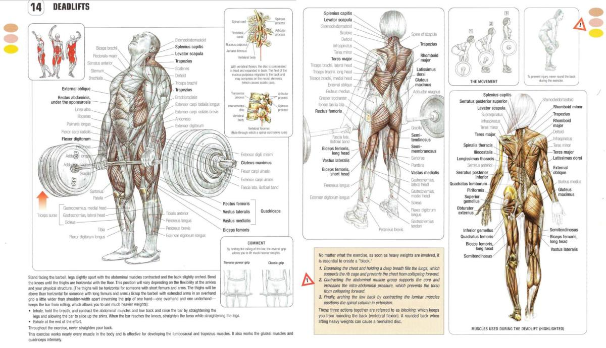 Deadlift muscle anatomy
