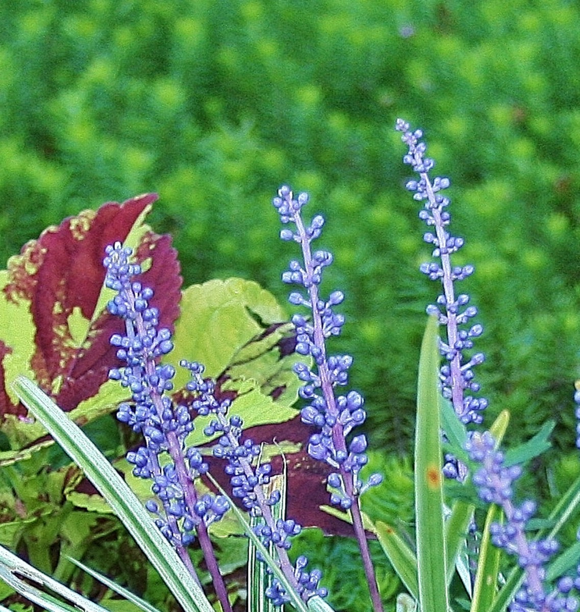 Like coleus, l. muscari grows best in hot, humid conditions.