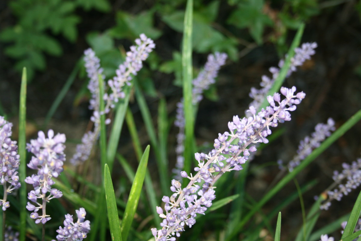 Like variegated liriope, plain green L. muscari is great for erosion control.
