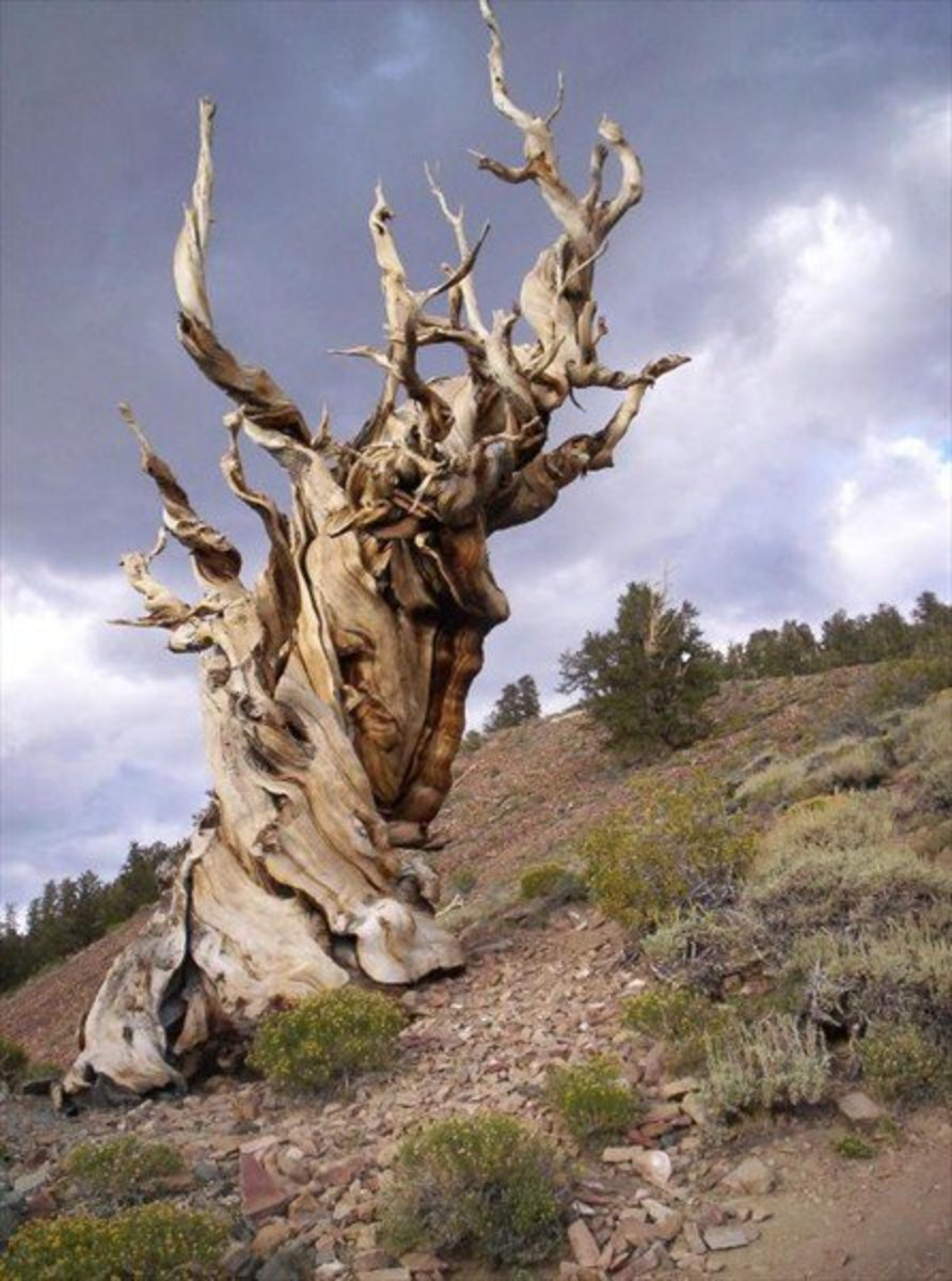 Methuselah Bristlecone Pine was born in 2831 BC