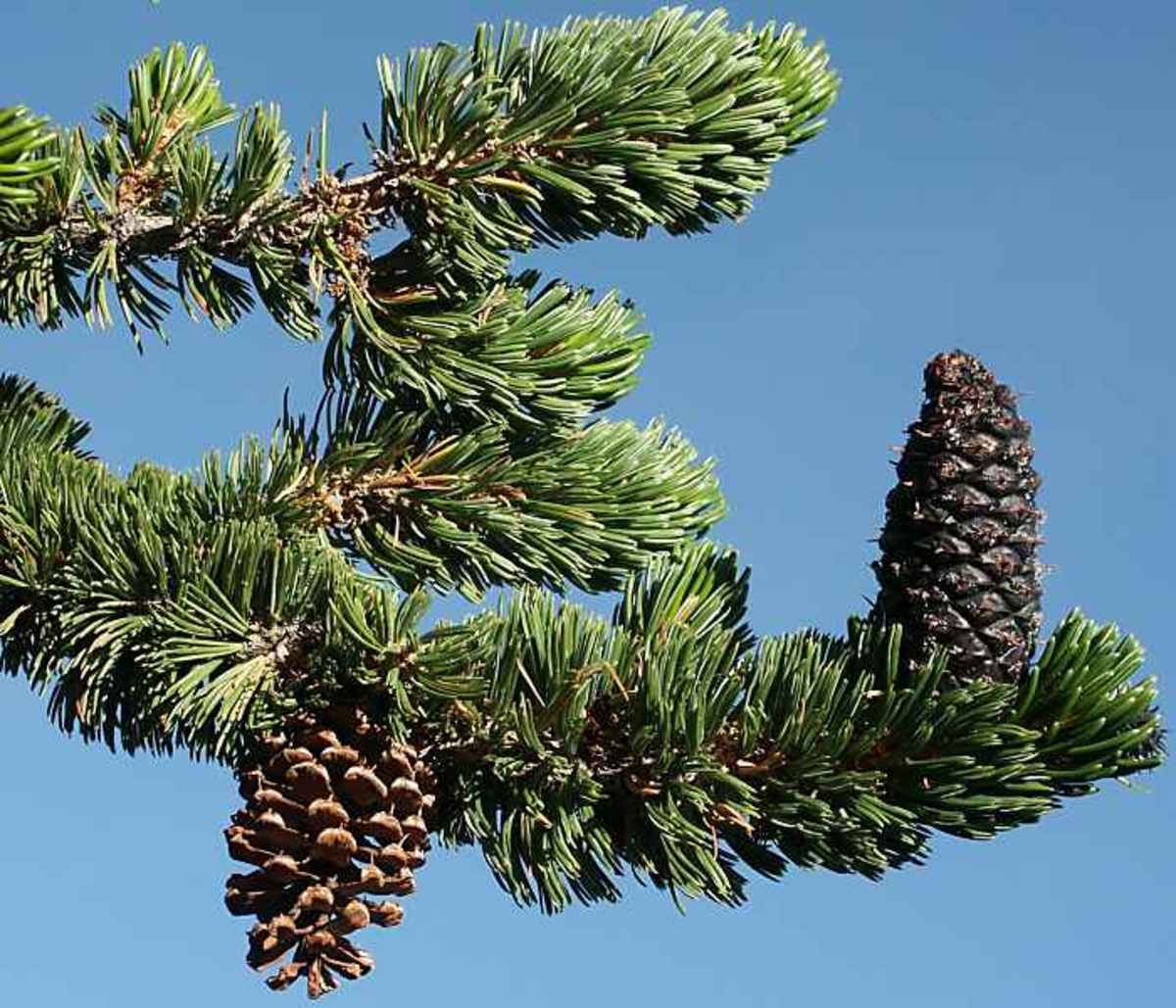 Bristlecone Pine needles and cones