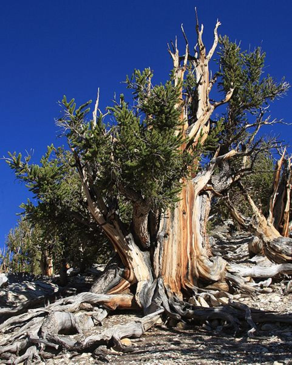 Bristlecone Pine in Schulman Grove, White Mountains, California.