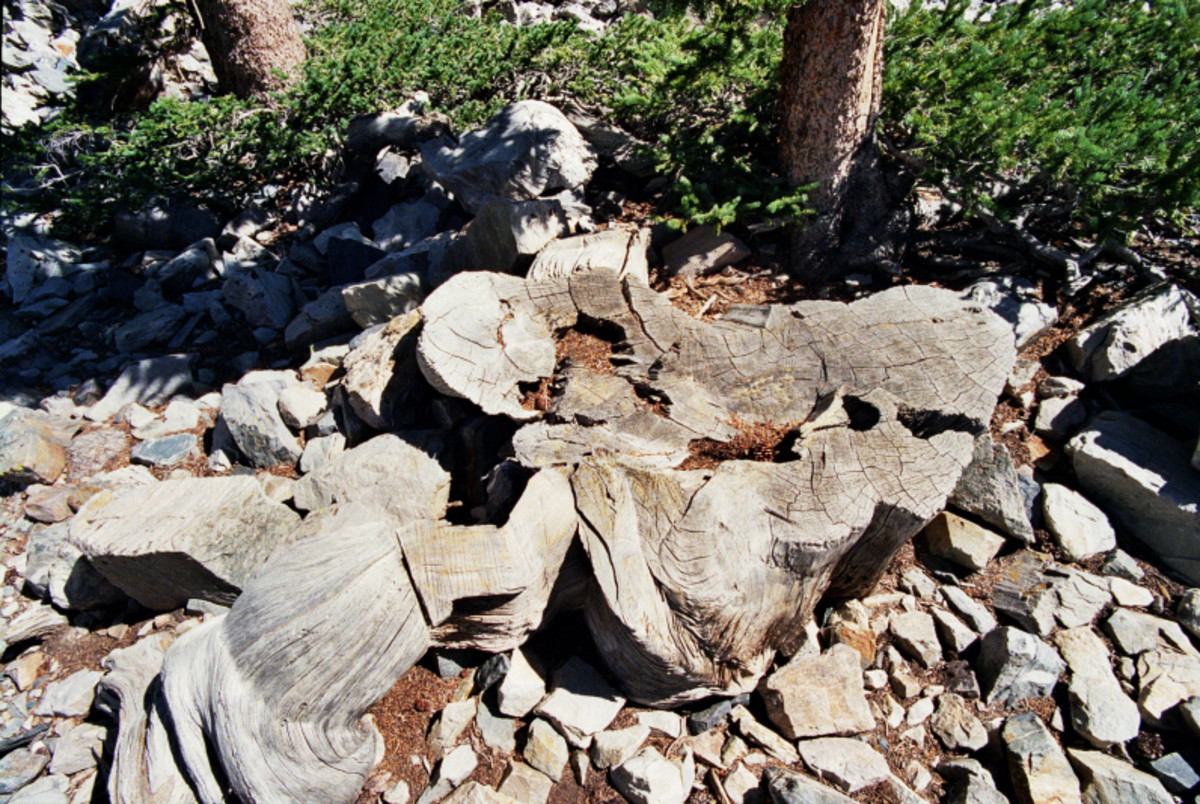 The cut stump of Prometheus.