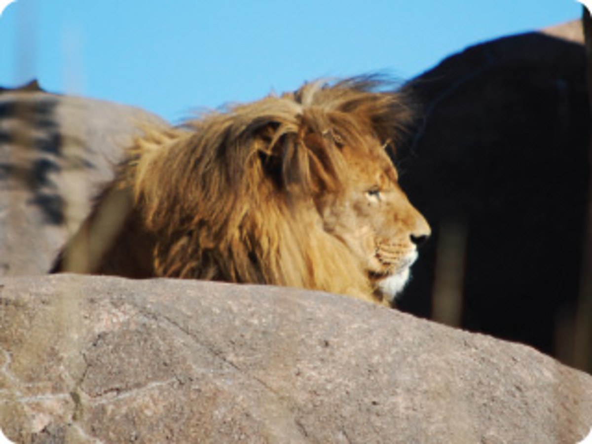 The King of the Jungle is also the king of the Kilimanjaro Safaris attraction.
