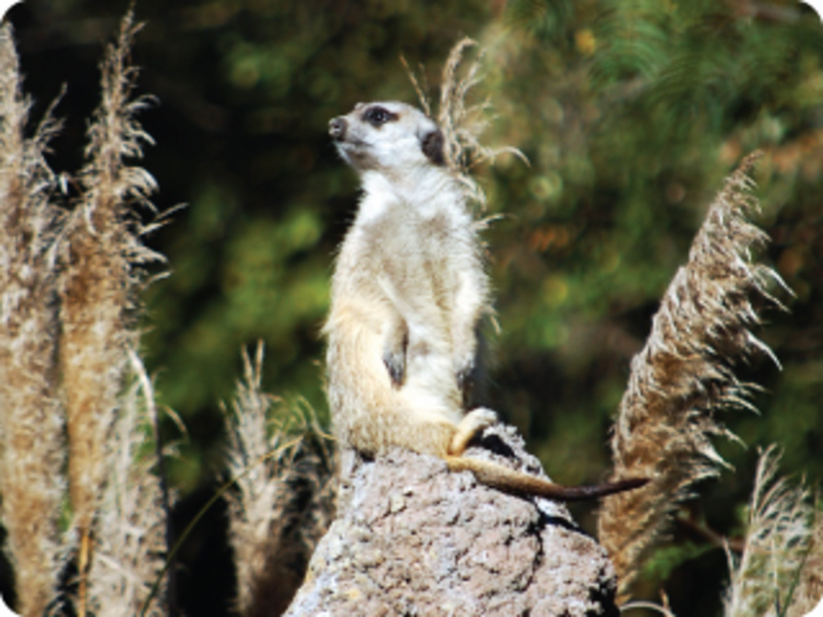A Meerkat scanning the sky for danger.