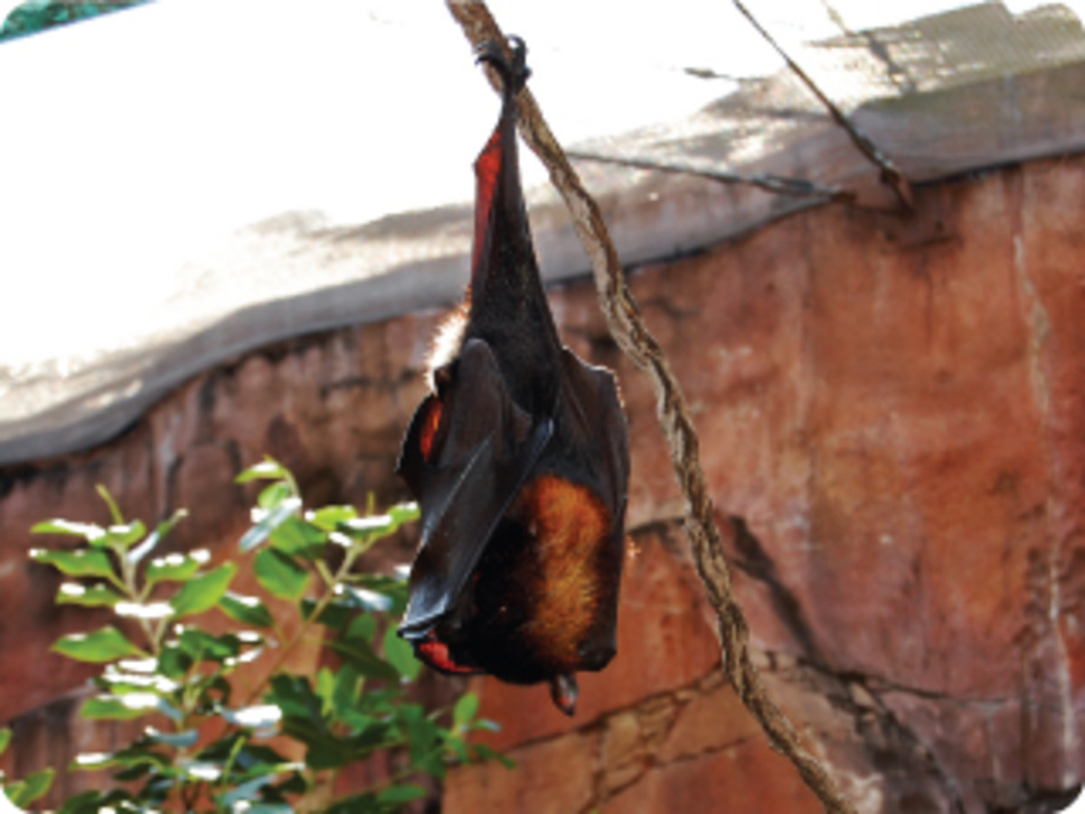 Bat hanging by its feet trying to catch some shut-eye during the day.