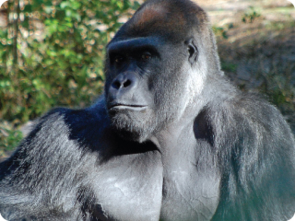 Western Lowland Gorillas can look you right in the eye.