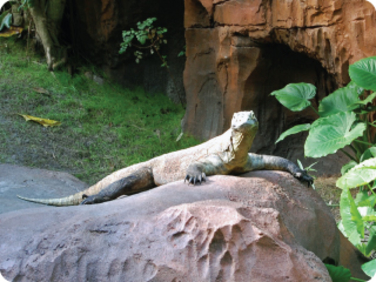 Giant Komodo Dragon greets guests as the enter the Maharajah Jungle Trek.