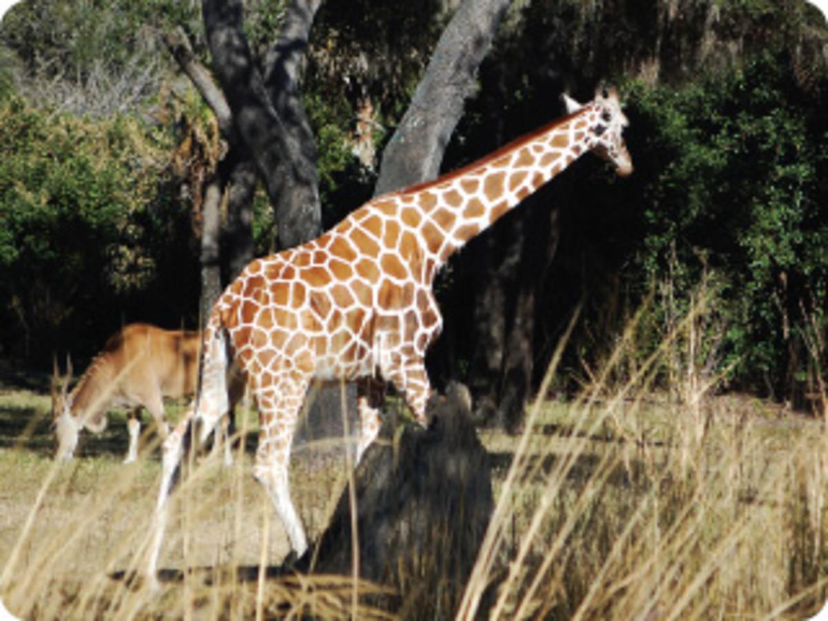 Giraffes are always a popular site meandering the savannah on Kilimanjaro Safaris.