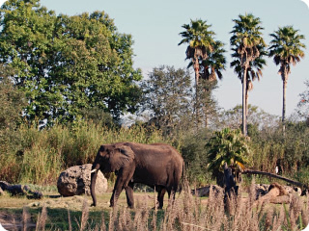 Elephants are some of the headliners on Kilimanjaro Safaris.