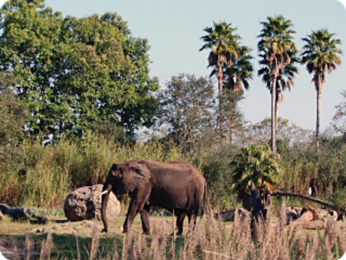 Elephants are some of the headliners on Kilimanjaro Safaris.