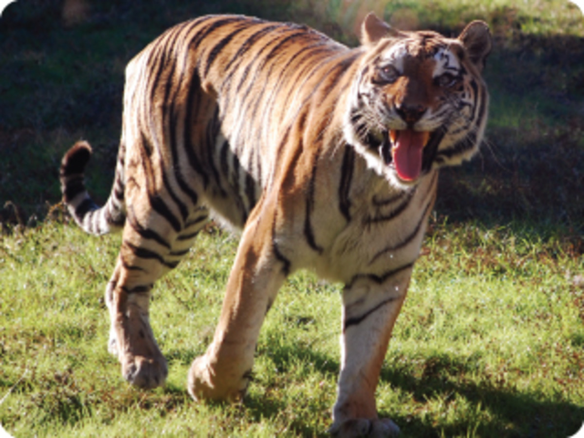 Animated Bengal Tiger trotting about in the big cat paddock.