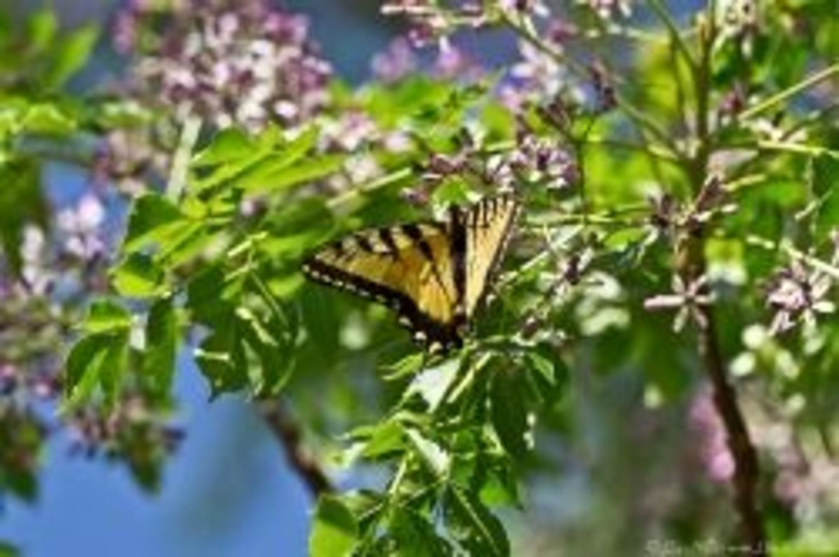 Photo of Chinaberry blooms with butterfly from Hotsprings National Park.