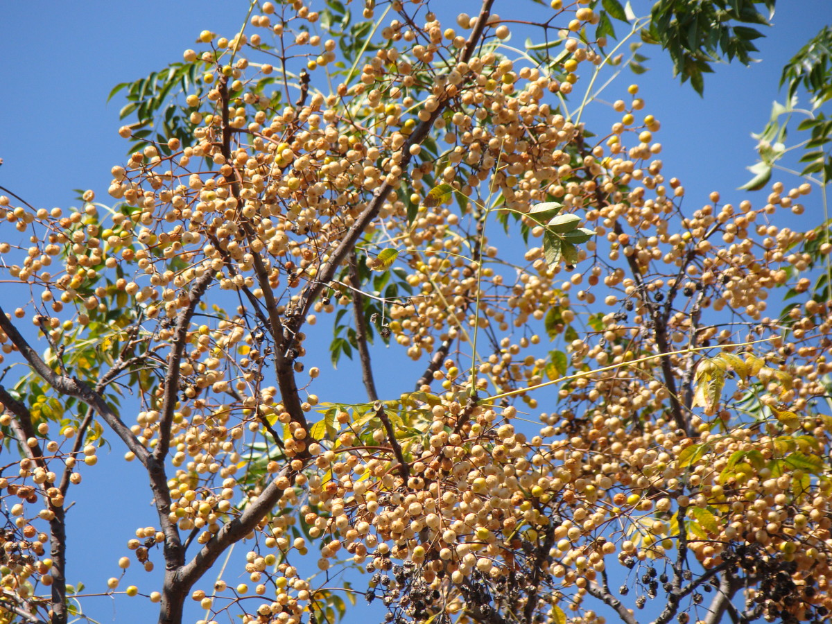Chinaberries on the tree.