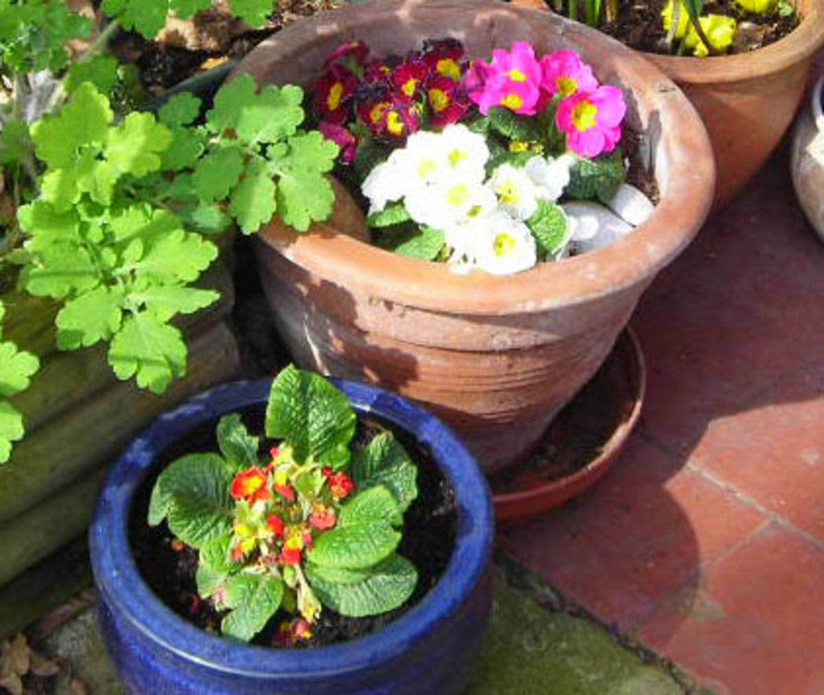 Primroses in various colours