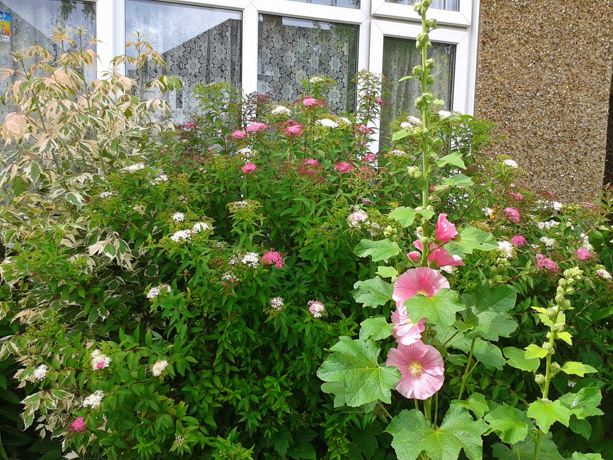 A typical English cottage garden style in summer, all in pink and green tones - hollyhocks, spirea and cornus