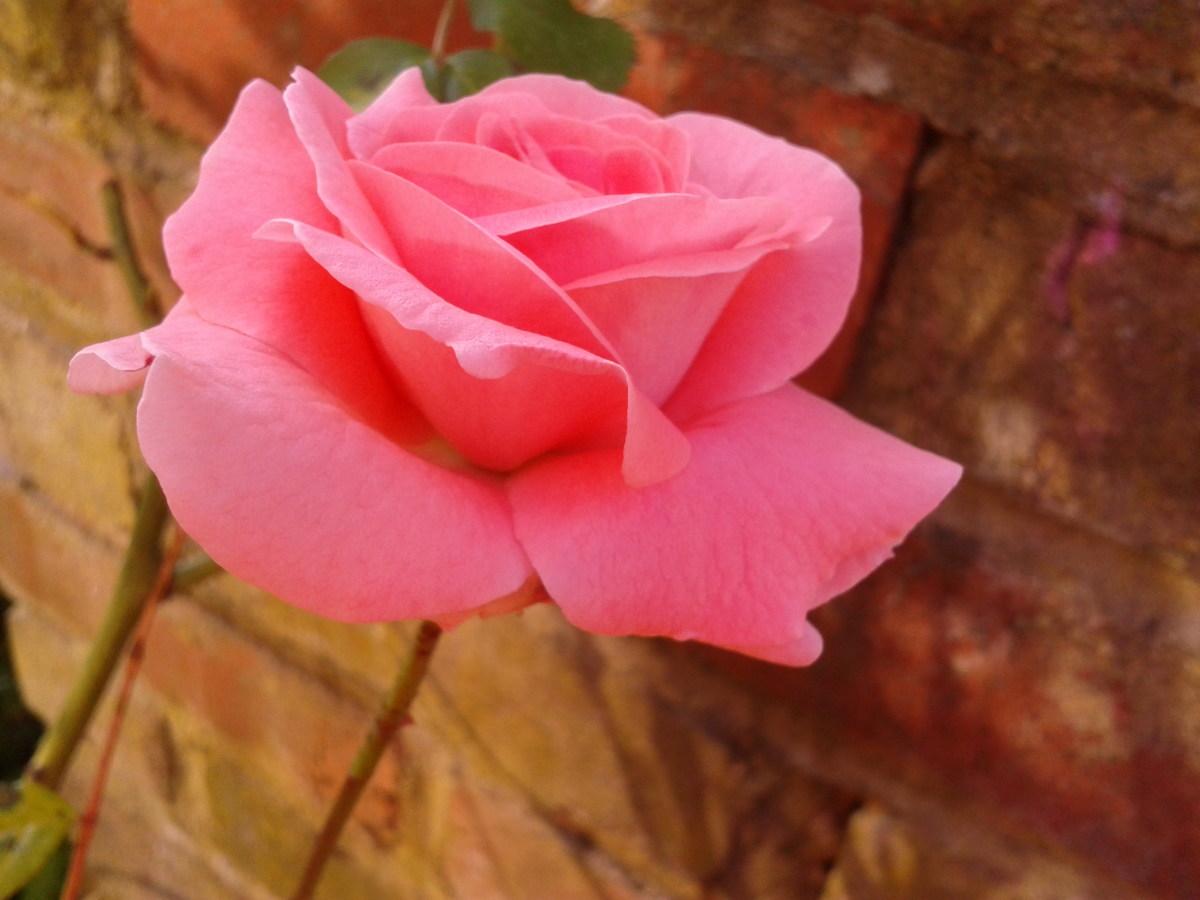 A Tea Rose