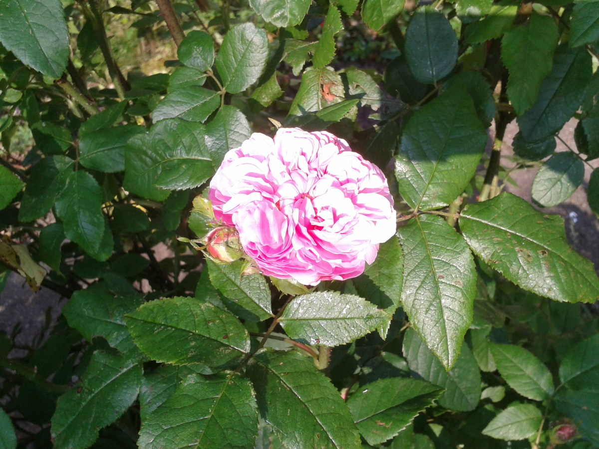 An English Floribunda Rose