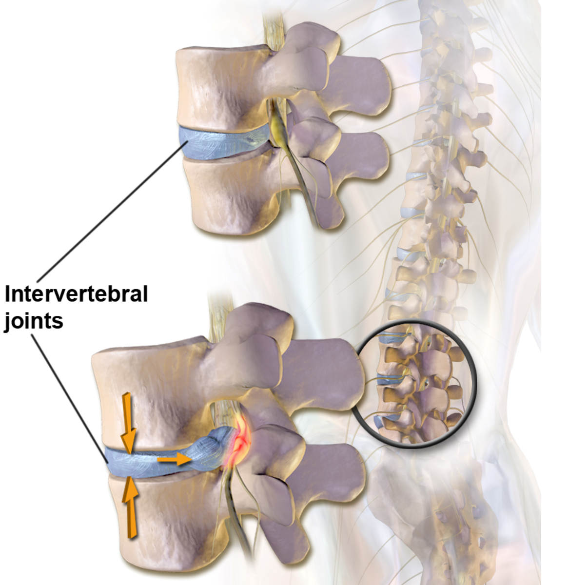 Intervertebral fibrocartilage discs join vertebrae together