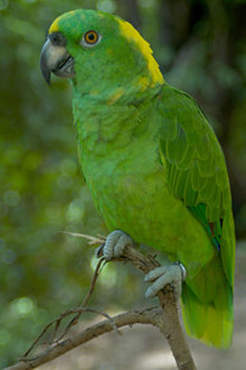 A Yellow-Naped Amazon parrot ready for a name.
