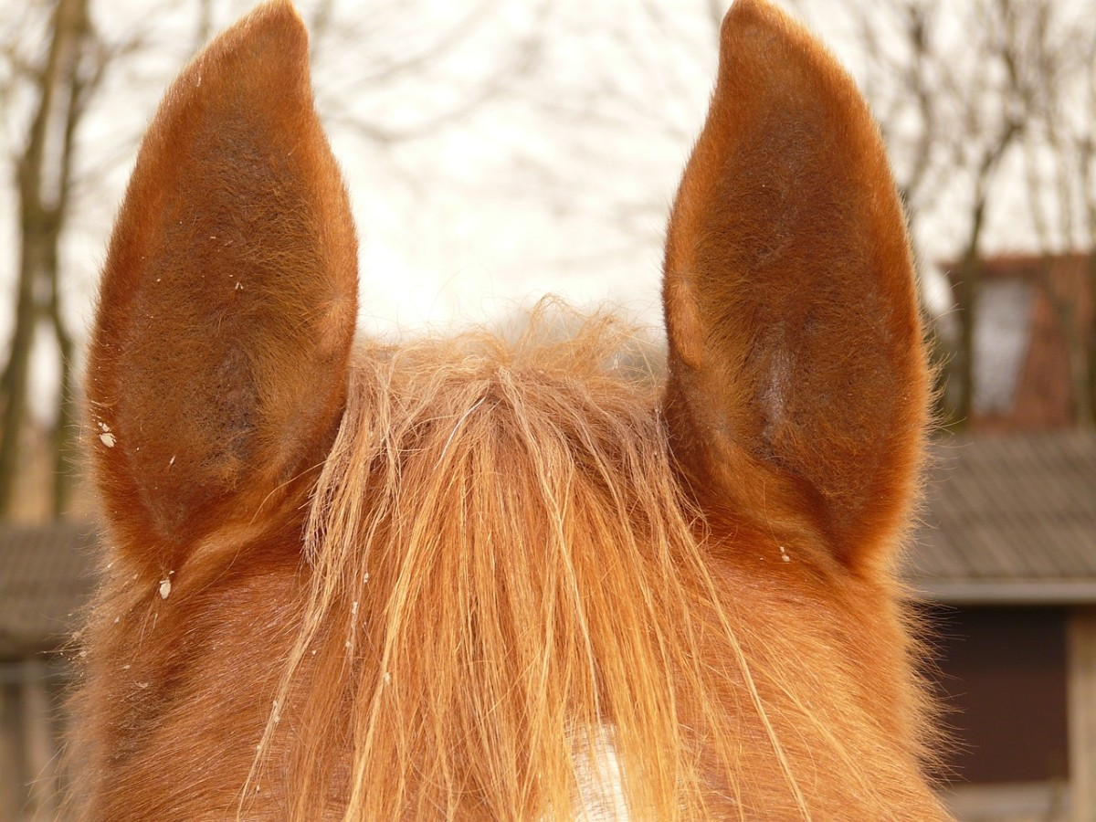 Horses have superior hearing and movable ears.