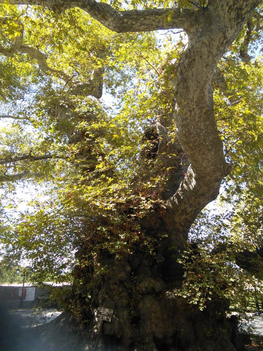 Plane Tree in Krasi Village