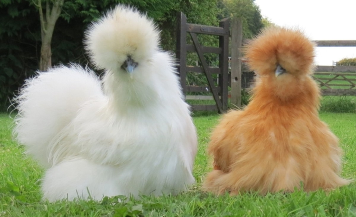 Another reason Westerners don't eat Silkies is because they're just so darned adorable...