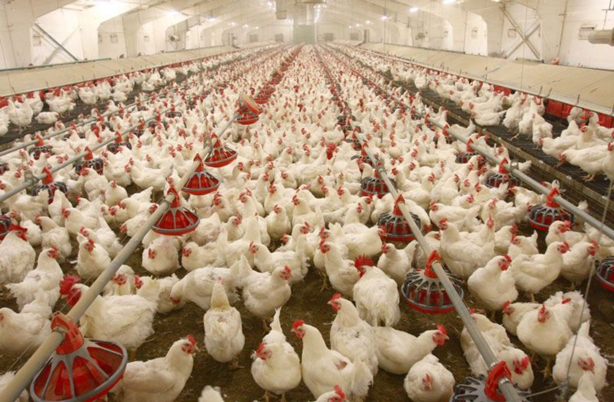 These broilers are near slaughtering age, raised their entire lives indoors and with thousands of others.