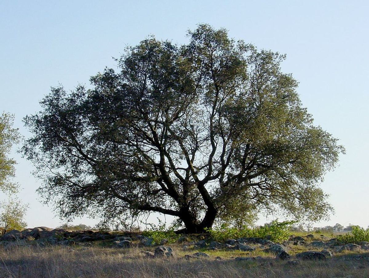 Absalom caught his hair in the branches of an oak tree and hanging there he was unable to fight and was killed.