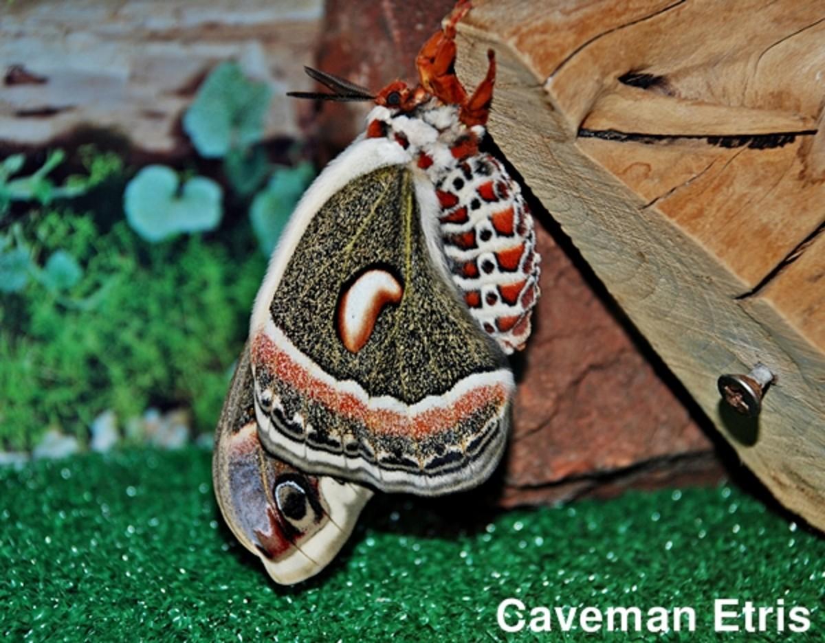 Side view of moth hanging in aquarium.