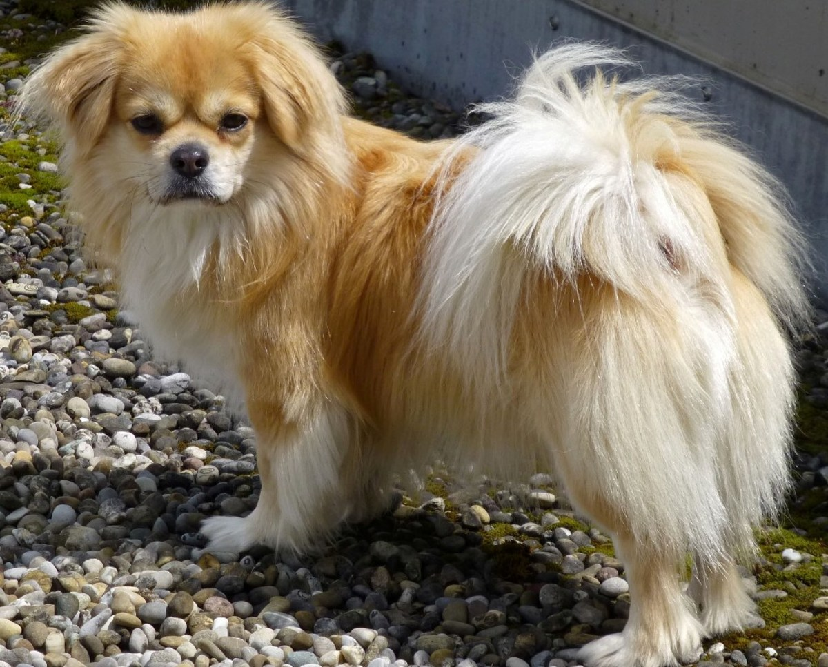 Tibetan spaniel or Damchi Dog