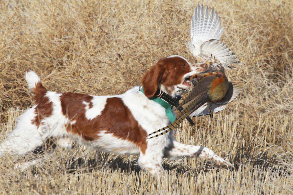 Hunting Brittany Spaniel